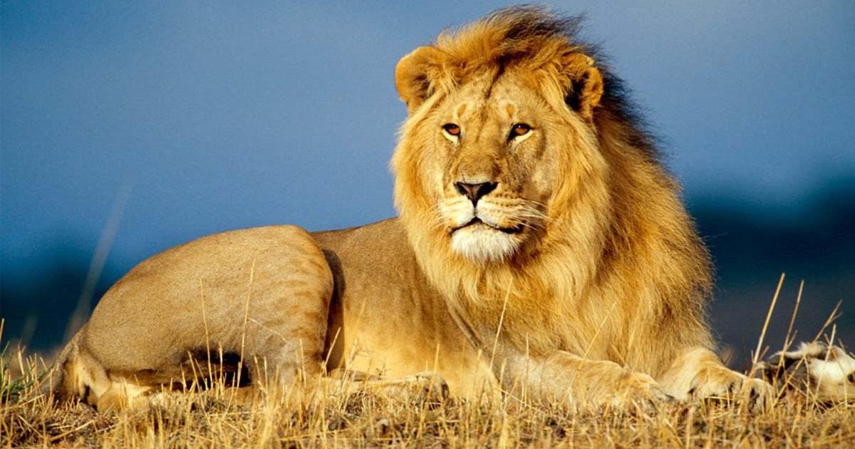 WWF SOS LEONE: il Progetto per salvare i grandi felini africani